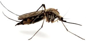disinfestazione roma zanzare