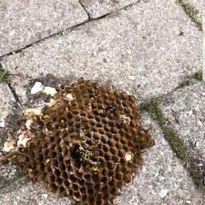 Disinfestazione Roma: nido di calabroni